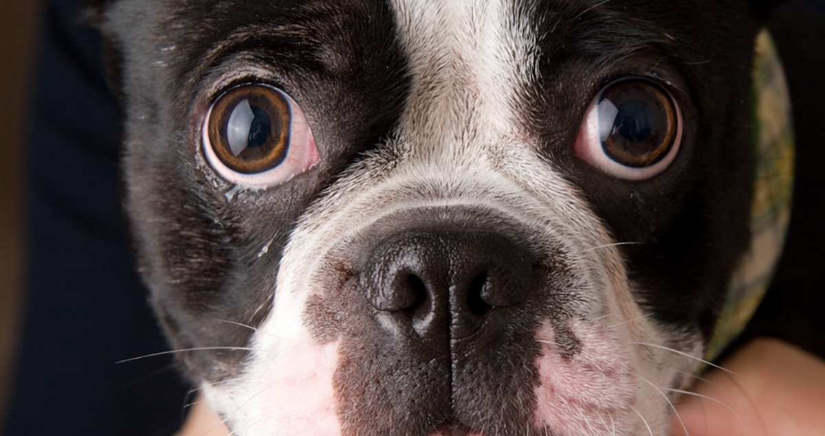 Boston terrier portrait, studio portrait, best pet photographer Everett WA