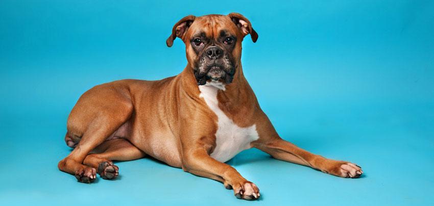 indoor canine portrait, dog on blue background, best pet photographer Everett WA