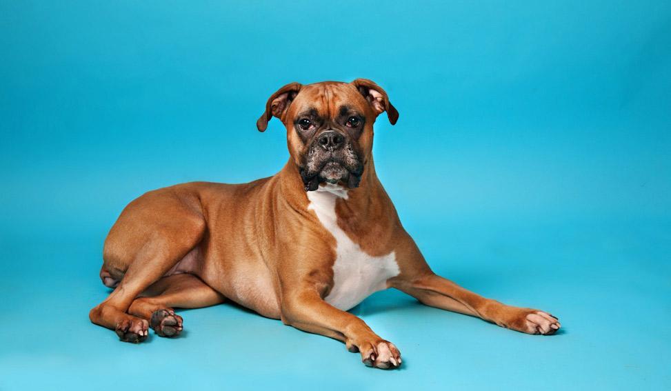 indoor canine portrait, dog on blue background